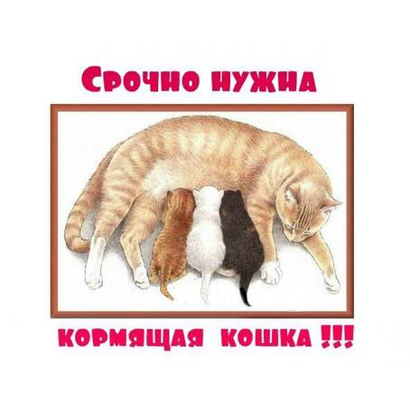 Картинка - Срочно нужна кормящая кошка!
