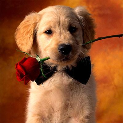 Красивое фото на аватар - Щенок с розой в зубах