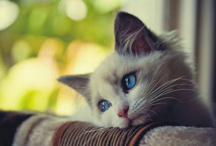 Красивая картинка на аватар - Белый котенок