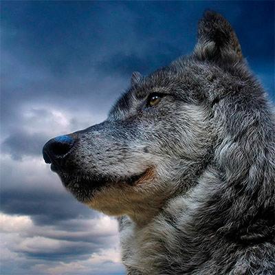 Красивое фото на аватар - Волк