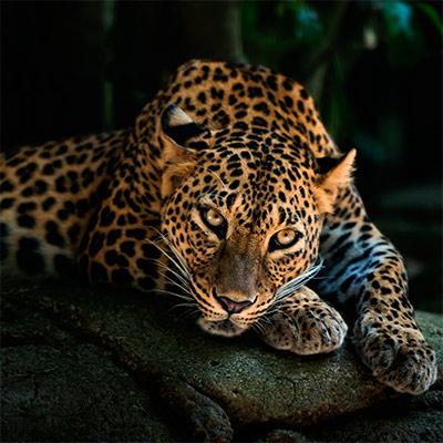 Красивое фото на аватар - Леопард
